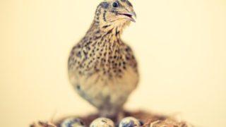 ウズラ 親鳥